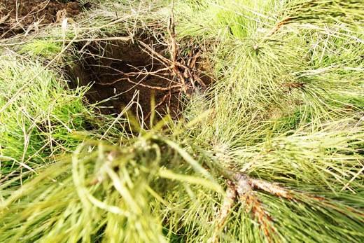 10 В Одессе на приморском склоне высадили сосновый бор