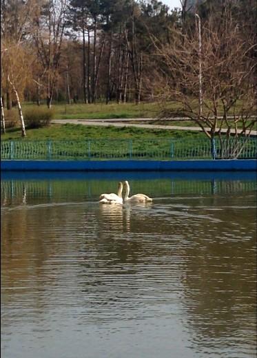 13 В одесском парке на озеро выпустили пару лебедей