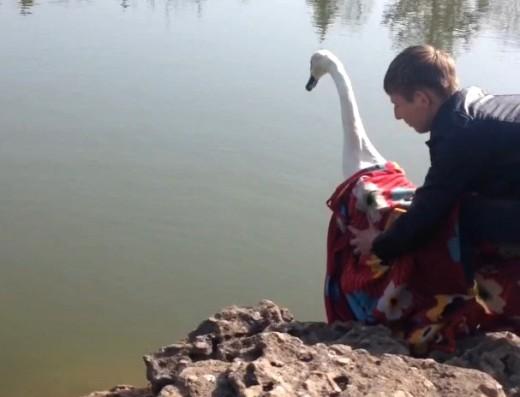 14 В одесском парке на озеро выпустили пару лебедей