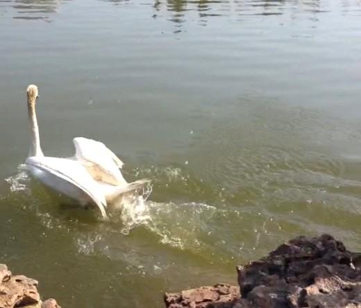 16 В одесском парке на озеро выпустили пару лебедей
