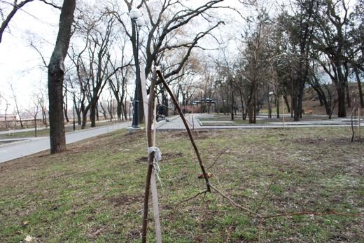 IMG_5489 Вандалы в Одессе снова уничтожили аллею лип в Лунном парке