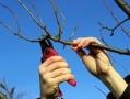 За месяц в разных районах Одессы проведено омоложение 186-ти деревьев