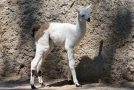 In Odessa Zoo lamas and fallow deer became parents. Photo