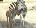 Little zebra taking its first steps in Odessa zoo. Photo