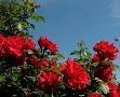 Осенью 2015 года «Горзелентрест» высадил в Одессе 23350 кустов роз