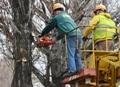55 деревьев высадил одесский Горзелентрест вдоль Днепропетровской дороги. Фото