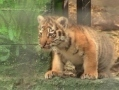 In Odessa Zoo the babies of lions and tigers have come out for a walk by their enclosures