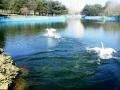 В пруды одесского парка Победы вернулись лебеди