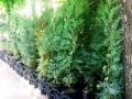 В Городском саду высаживают кипарисы