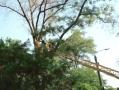 В Одессе регулярно проводят обрезку деревьев по обращениям граждан на горячую линию 15-35